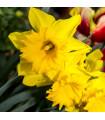 Narcis Barenwyn cibuľky- predaj cibuľovín - 3 ks