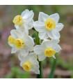 Narcis Minnow - miniatúrne narcisy - predaj cibuľovín - narcisy - 3 ks