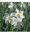 Narcis Actaea - Narcissus poeticus - cibuľoviny - 3 ks