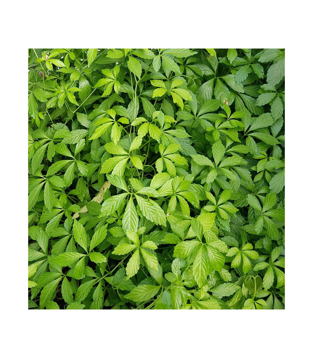 Ženšen päťlistý - Gynostemma pentaphyllum - semená - 7 ks