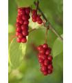 Schizandra čínska - Schisandra chinensis - semená - 6 ks