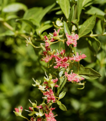 Hena - Lawsonia inermis - semená - 4 ks