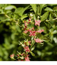 Henna - Lawsonia inermis - semená Henny - semiačka - 4 ks