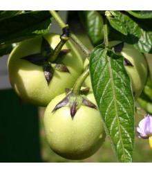 More about Pepíno - Solanum muricatum - semená - semiačka - 5 ks