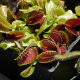 Mucholapka podivná - Dionaea muscipula - semená - 10 ks