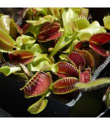 Mucholapka podivná - Dionaea muscipula - semená mucholapky - semiačka - 10 ks