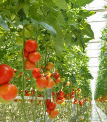 Balíček obľúbených semiačok paradajok- darčekové balenie v cene