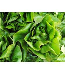 Šalát hlávkový k rýchleniu - Lactuca sativa - semená šalátu - semiačka- 300ks