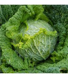 Kel hlávkový na rýchlenie Raketa - Brassica oleracea var. sabauda - semená - 250 ks