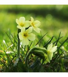 Prvosienka veľkokvetý Oxlip - Primula elatior - semená prvosienky - 20 Ks