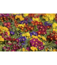 Prvosienka bezlodyšná zmes farebných Primula acaulis - 70 ks