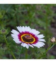Králik kylnatý - zmes - Chrysanthemum carinatum mix - semená - 0,3 g