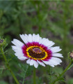 Králik kylnatý - zmes farieb - chrysanthemum carinatum - predaj semien letničiek - 0,3 gr