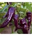 Paprika Marconi Purple - Capsicum annuum - semená - 10 ks