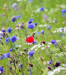 Česká kvetnica - zmes semien - 10 g