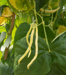 Fazuľa tyčková Neckargold - Phaseolus vulgaris - predaj semien fazule - 15 ks