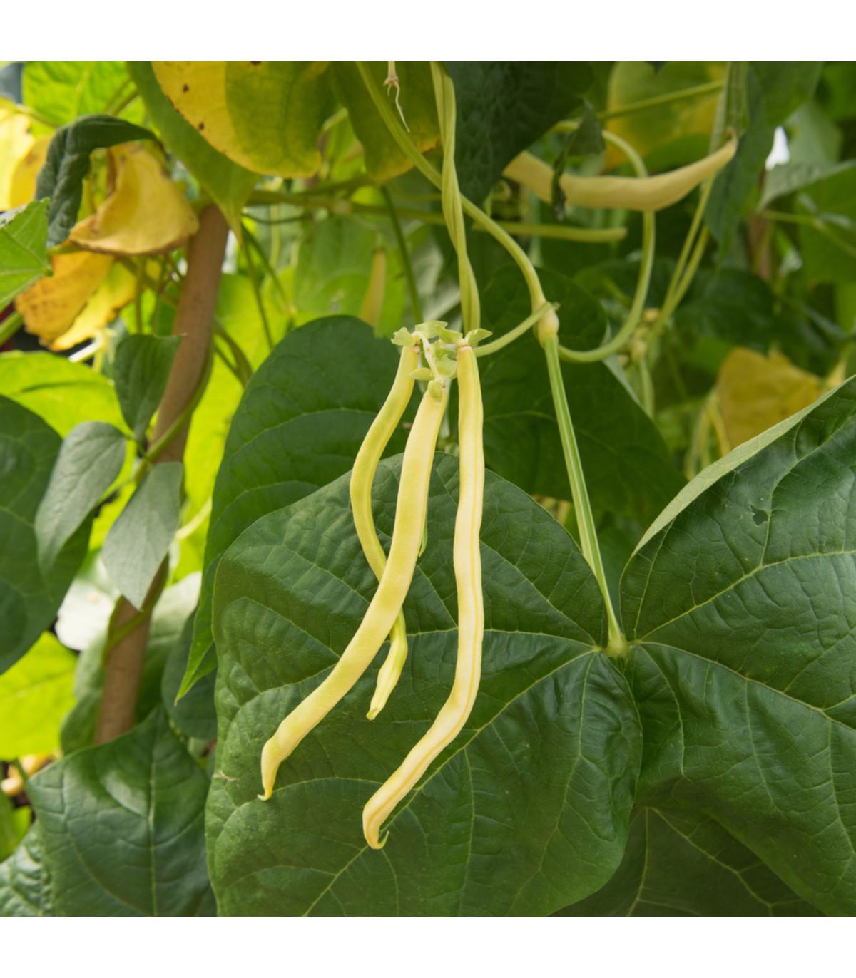 Fazuľa popínavá Neckargold - Phaseolus vulgaris - semená - 15 ks