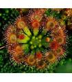 Rosnička okrúhlolistá - Drosera rotundifolia - semená - 10 ks