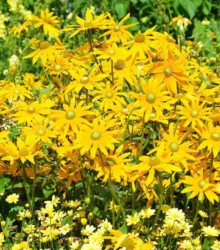 Zmes letničiek Záhradný sen - žltá - semená - 0,9 g