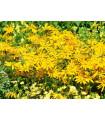 Letničky zmes - Záhradný sen v žltej - predaj semien - 0,9 g