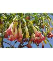Brungmansia - Anjelské trúbky ružové - Brugmansia spp. - semená - 5 ks