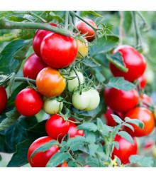 Paradajka kríčková balkónová Balkonstar - Solanum lycopersicum - rajčiak - semená - 10 ks