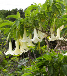 Anjelské trúby krémové- Brugmansia arborea - predaj semien - 5 ks
