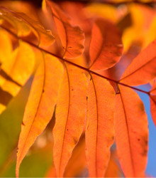 Pistácia čínska - Pistacia chinensis - semená pistácie - 5 ks