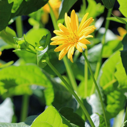 Silfium zrastenolisté  - Silphium perfoliatum - predaj semien - 8 ks