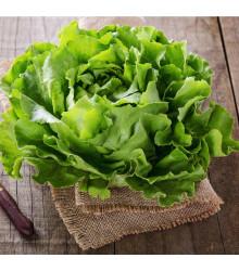 Šalát ľadový Saladin - Lactuca sativa - semená šalátu ľadového - 0,2 g