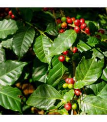 Kávovník arabský - semená Kávovníku - semiačka - 5 ks