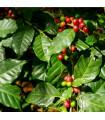 Kávovník arabský- semená- 5ks