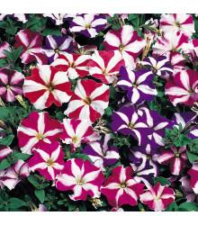 Petúnia nízka Stars mix - Petunia nana compacta - semená - 20 ks