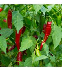 Chilli Thai hot culinary - Capsicum annuum - predaj chilli semienok - 6 ks