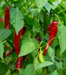 Chilli Thai Hot culinary - Capsicum Annuum - semená - 6 ks