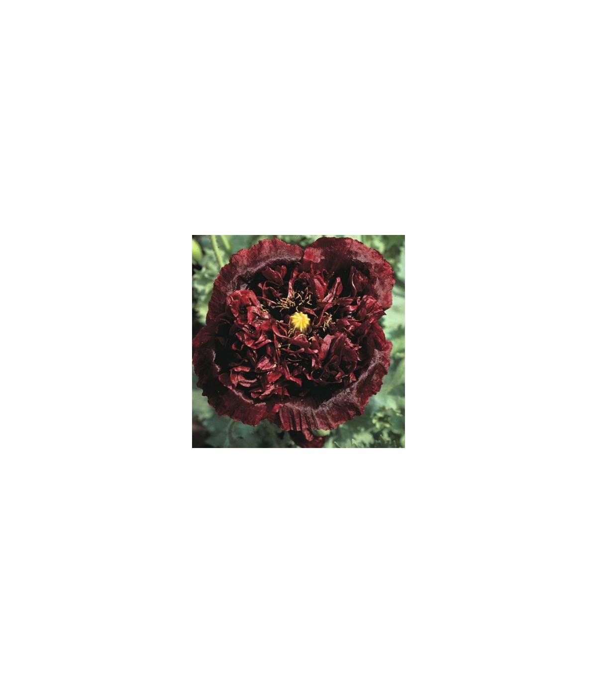 Mak Black Peony - Papaver somniferum - semená - 20 ks