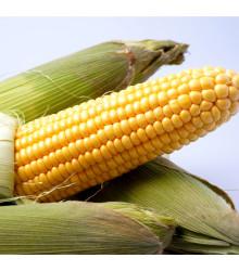 Kukurica cukrová Ombra F1 - Zea mays - semená kukurice - 15 ks