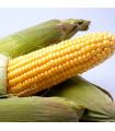 Kukurica cukrová Ombra F1 - Zea mays - semená - 15 ks