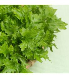 Horčica čínska Wasabina- Brassica Juncea - predaj semien asijskej zeleniny - 120 ks
