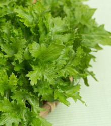 Horčica Wasabina - Brassica Juncea - semená - 120 ks