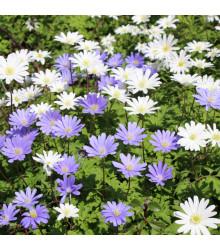 Sasanka vábivá zmes farieb - Anemone blanda - predaj hľúz - 3 ks