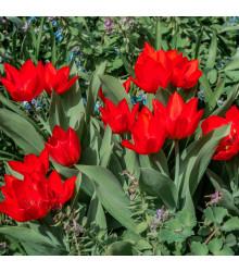 Tulipán viackvetý Praestans - Tulipa - cibuľoviny - 3 ks