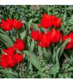 Tulipán viackvetý Praestans - Tulipa - cibuľoviny