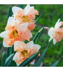 Narcis Vanilla Peach - narcisy cibuľoviny - 3 ks