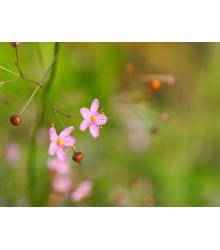 Ženšen kórejský- Portulaka metlinatá - Talinum paniculatum - semená ženšenu - 15 ks