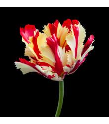 Tulipán Flamming Parrot - Tulipa - cibuľoviny - 3 ks