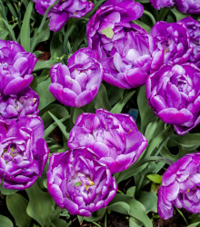 More about Tulipán plnokvetý Blue Diamond - Tulipa - cibuľoviny - 3 ks