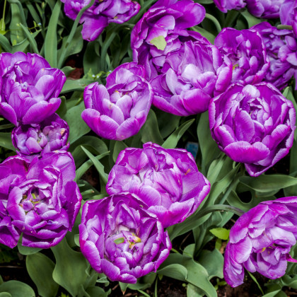 Tulipán plnokvetý Blue Diamond - Tulipa - cibuľoviny - 3 ks