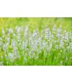 Levanduľa lekárska biela Ellegance Snow - Lavandula angustifolia - semená 15 ks