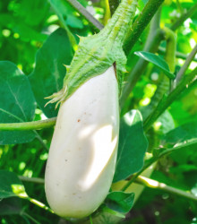 Baklažán Casper - Solanum melongena - semená - 7 ks